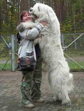 Caucasian Shepherd dog. And you thought Rottweillers were badass ...