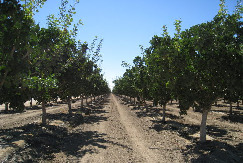 The Central Valley is the largest almond producing area in the world. Credit: mavensphotoblog.com