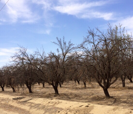 Wasco. Dead orchard